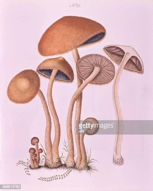 Gravure de botanique représentant des champignons