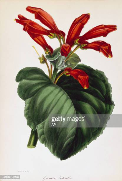 Gravure de botanique représentant le Gesnera Lateritia plante d'Amérique