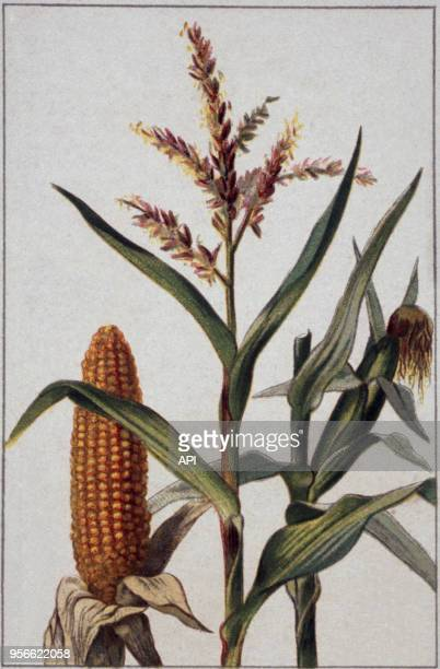 Gravure de botanique représentant le maïs de la famille des graminés