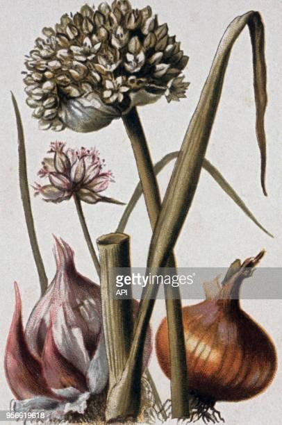 Gravure de botanique représentant un oignon de l'ail et du poireau