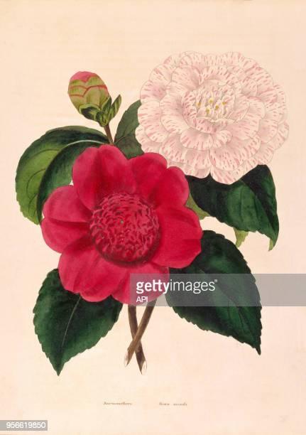 Gravure de botanique représentant une Rosa Mundi ou anémone flora