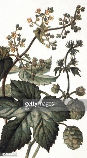 Gravure de botanique réprésentant le houblon de la famille des Canabinées