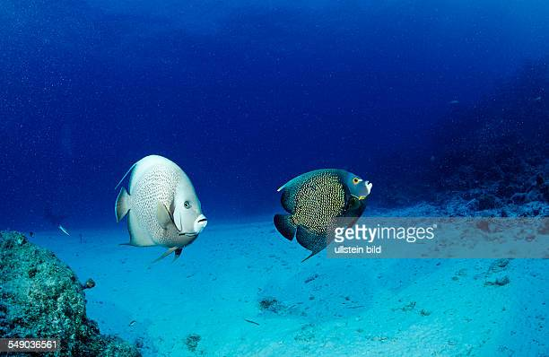 Gray angelfish and French Angelfish Pomacanthus arcuatus Pomacanthus paru Bahamas Atlantic Ocean
