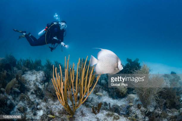 gray angelfish and scuba diver - the florida keys stock pictures, royalty-free photos & images