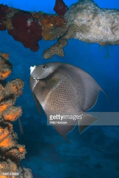 Gray angelfish feeding on sponge Pomacanthus arcuatus Curacao Netherlands Antilles Digital Photo