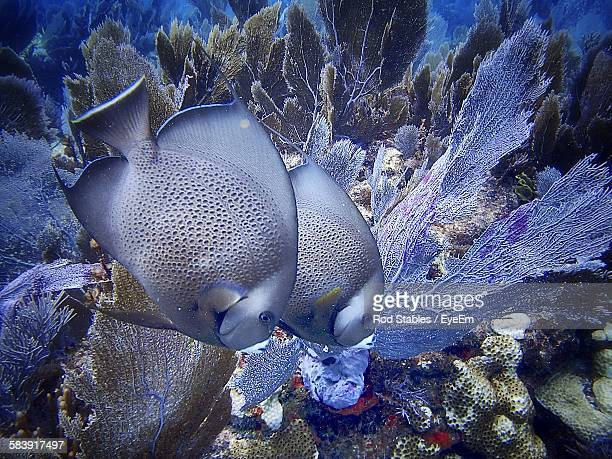 Gray Angelfish In Sea