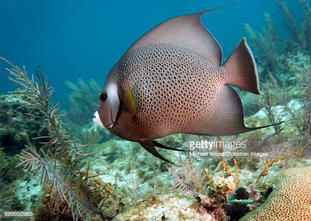 A Gray Angelfish in the shallow waters off the coast of Key Largo, Florida.