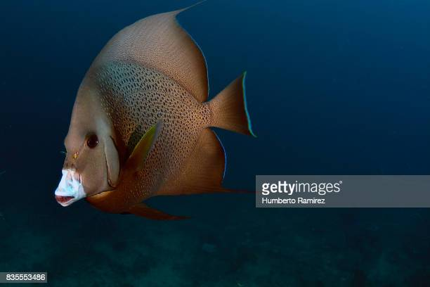 Gray Angelfish.