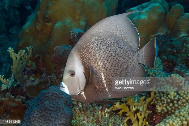 Gray angelfish Pomacanthus arcuatus Curacao Netherlands Antilles Digital Photo