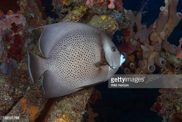 Gray angelfish Pomacanthus arcuatus Curacao Netherlands Antilles