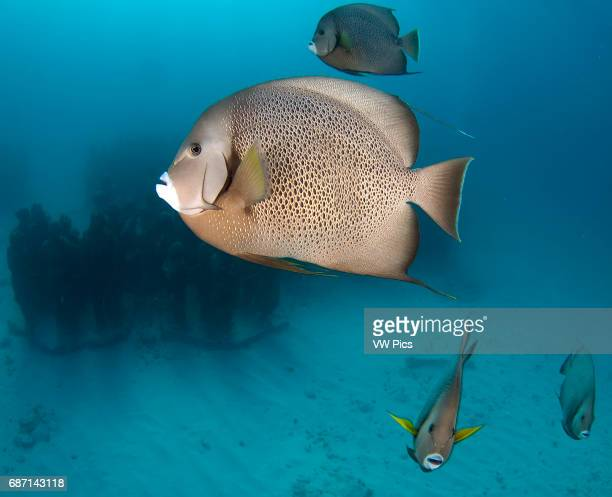 Gray angelfish schooling to be cleaned from parasites and death skin on the underwater museum Cancun Mexico Caribbean sea