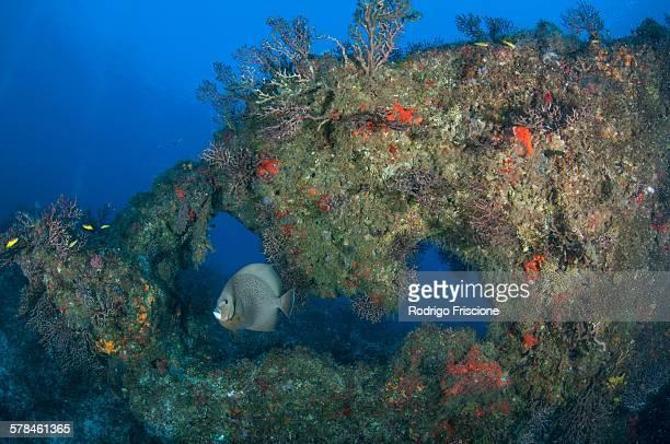 Gray angelfish (Pomacanthus arcuatus) swimming amongst reefs, Cabo Catoche, Quintana Roo, Mexico