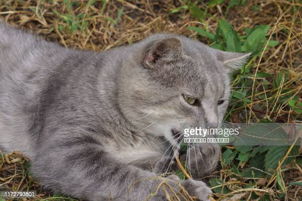 one gray big cat lies bashes