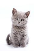 Gray British cat kitten (isolated on white)