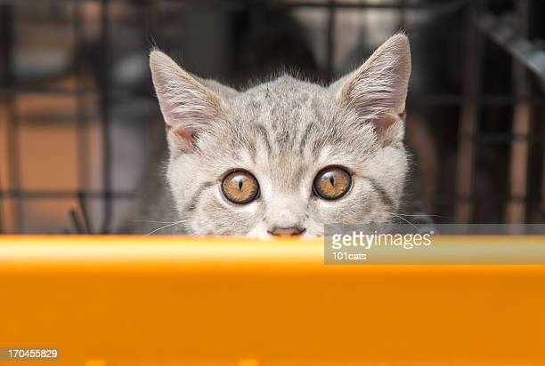 gatto grigio in lavastoviglie - gatto soriano foto e immagini stock
