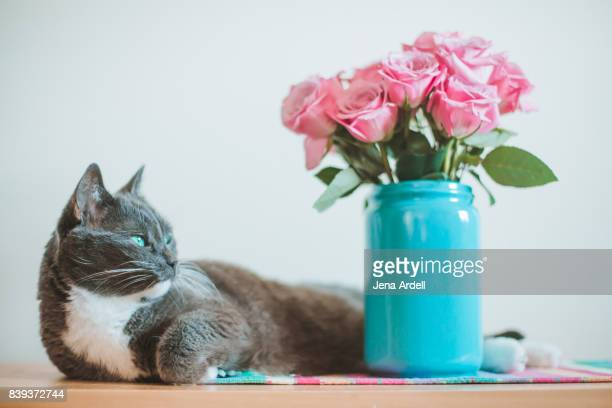 gray cat laying down - jena rose stockfoto's en -beelden