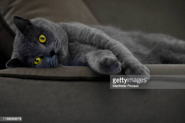 gray cat on gray sofa . - british shorthair cat stock pictures, royalty-free photos & images