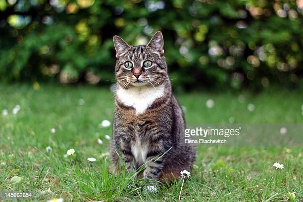 gray cat on green lawn - elena blume stock-fotos und bilder