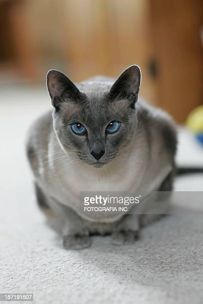 gray cat - siamese cat stock pictures, royalty-free photos & images