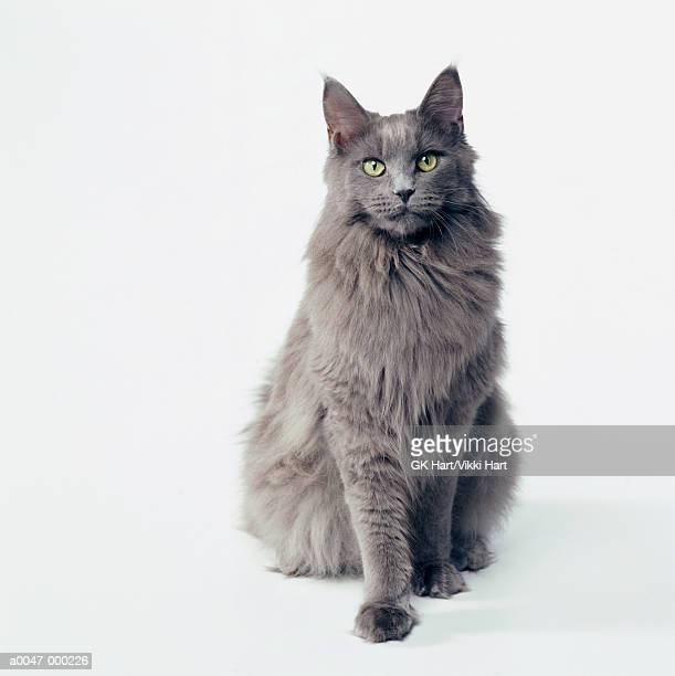 gray cat - gato doméstico fotografías e imágenes de stock