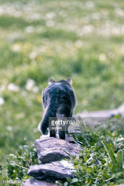 gray cat walking around on stone railing outside - hairy bum stock pictures, royalty-free photos & images