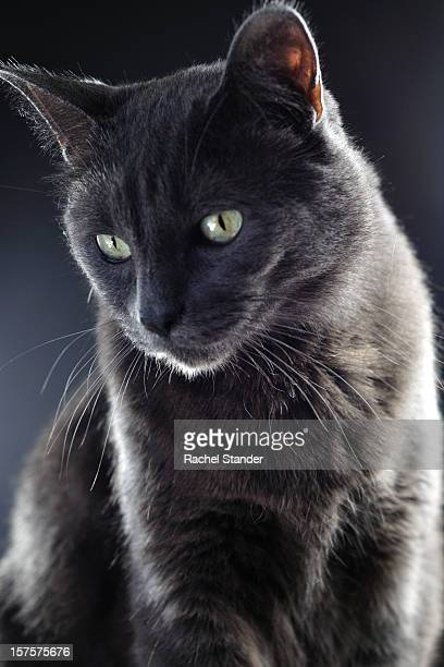 gray cat with gray background - russian blue cat stock pictures, royalty-free photos & images