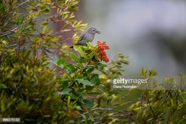 gray catbird (dumetella carolinensis) eating berries in fred c. - gray catbird stock pictures, royalty-free photos & images