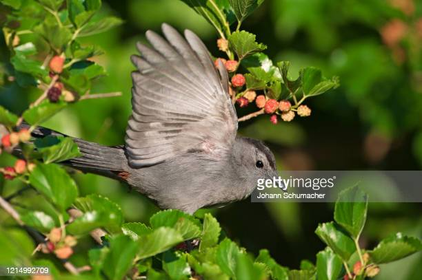 gray catbird foraging in mulberry tree - gray catbird stock pictures, royalty-free photos & images