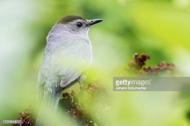 gray catbird in spring greenery - gray catbird stock pictures, royalty-free photos & images