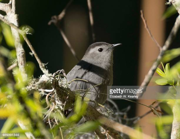 gray catbird in the bush - gray catbird stock pictures, royalty-free photos & images