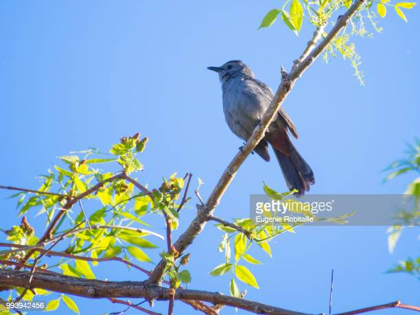 gray catbird / moqueur chat - gray catbird stock pictures, royalty-free photos & images
