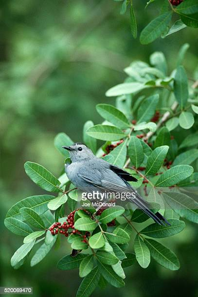 gray catbird on a berry bush - gray catbird stock pictures, royalty-free photos & images
