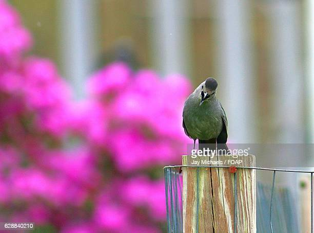 gray catbird on wooden post - gray catbird stock pictures, royalty-free photos & images