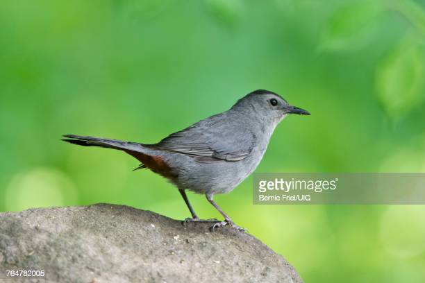 gray catbird perched on a rock - gray catbird stock pictures, royalty-free photos & images
