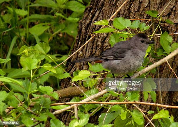 gray catbird perching on tree - gray catbird stock pictures, royalty-free photos & images