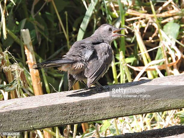 gray catbird perching on wooden fence - gray catbird stock pictures, royalty-free photos & images