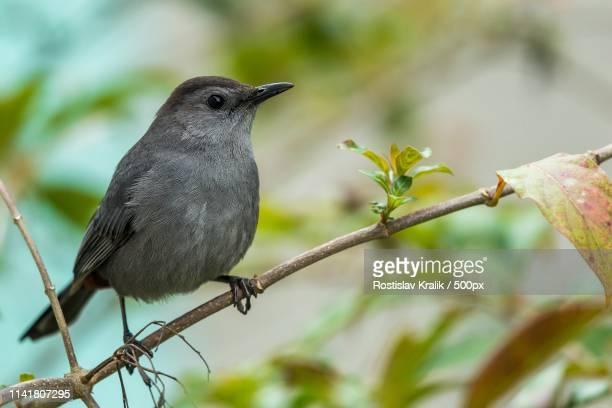 gray catbird (dumetella carolinensis) - gray catbird stock pictures, royalty-free photos & images