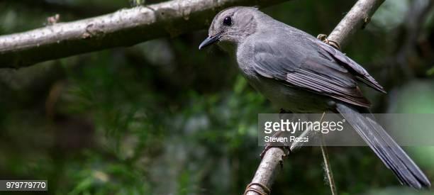 gray catbird - gray catbird stock pictures, royalty-free photos & images