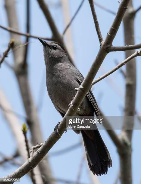 gray catbird. - gray catbird stock pictures, royalty-free photos & images