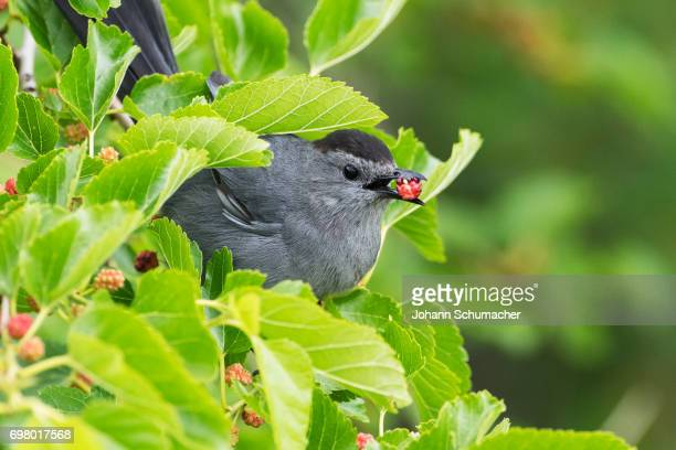 gray catbird with mulberry - gray catbird stock pictures, royalty-free photos & images