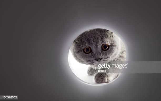a gray cats face looking into a tunnel - curiosity stock photos and pictures