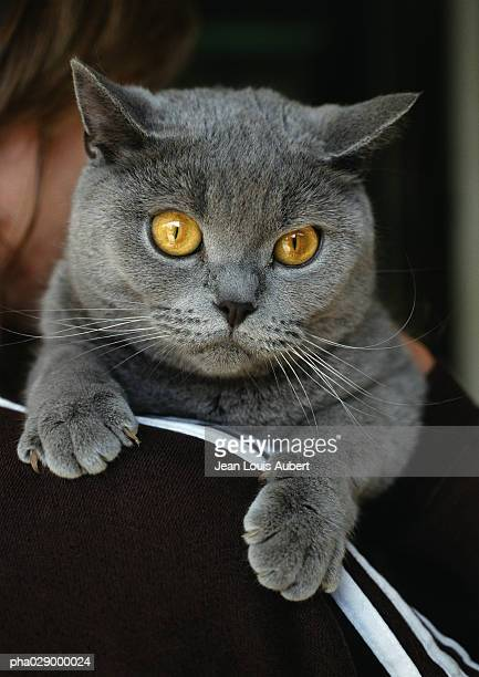 Gray Chartreux cat, close-up