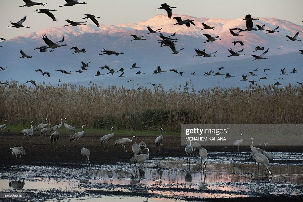 Gray cranes fly at sunset above the Agamon Hula Lake in the Hula Valley of northern Israel on January 21, 2013. More than half a billion birds of some 400 different species pass through the Jordan Valley to Africa and go back to Europe when summer comes. Some 50,000 gray cranes stayed this winter in the Agamon Hula Lake instead of migrating to Africa, taking advantage of the safety of this artificial water source. Local farmers feed the birds with corn in a bid to prevent them from destroying their agricultural fields.