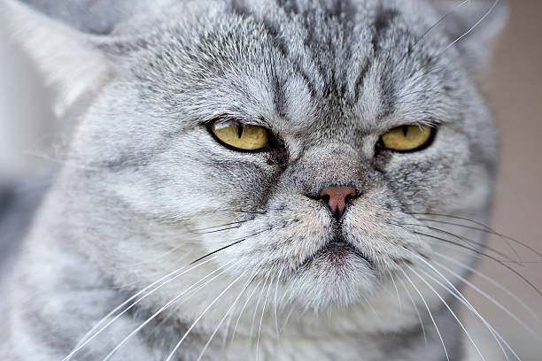 A Gray Domestic Cat Looking Serene Wall Art
