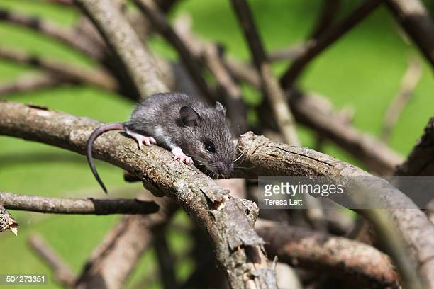 gray field mouse on branches - field mouse stock photos and pictures