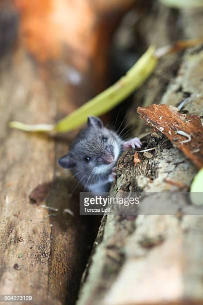 Gray field mouse peeking out