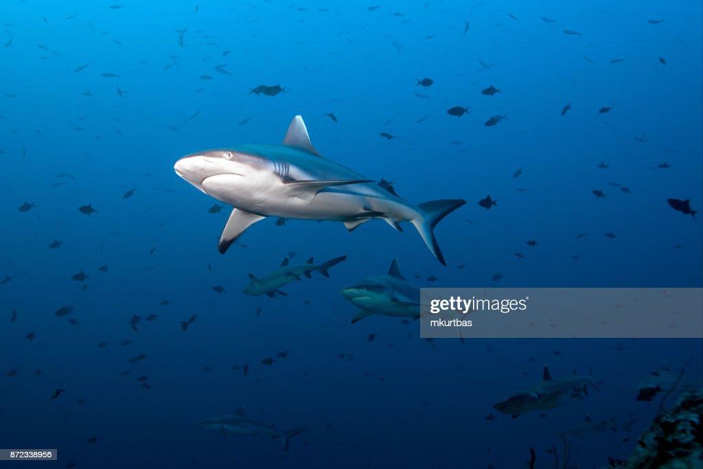 Gray Fin Reef Shark : Stock Photo