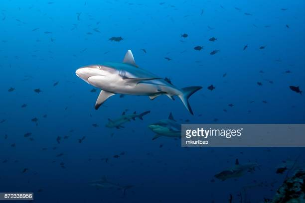gray fin reef shark - sharks stock pictures, royalty-free photos & images