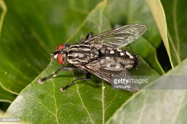 Gray Flesh Fly -Sarcophaga carnaria- Untergroeningen, Baden-Wuerttemberg, Germany, Europe