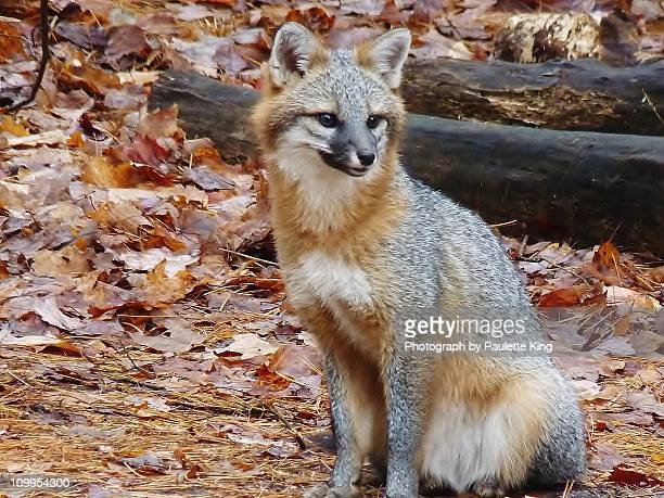 gray fox, close up - gray fox stock photos and pictures